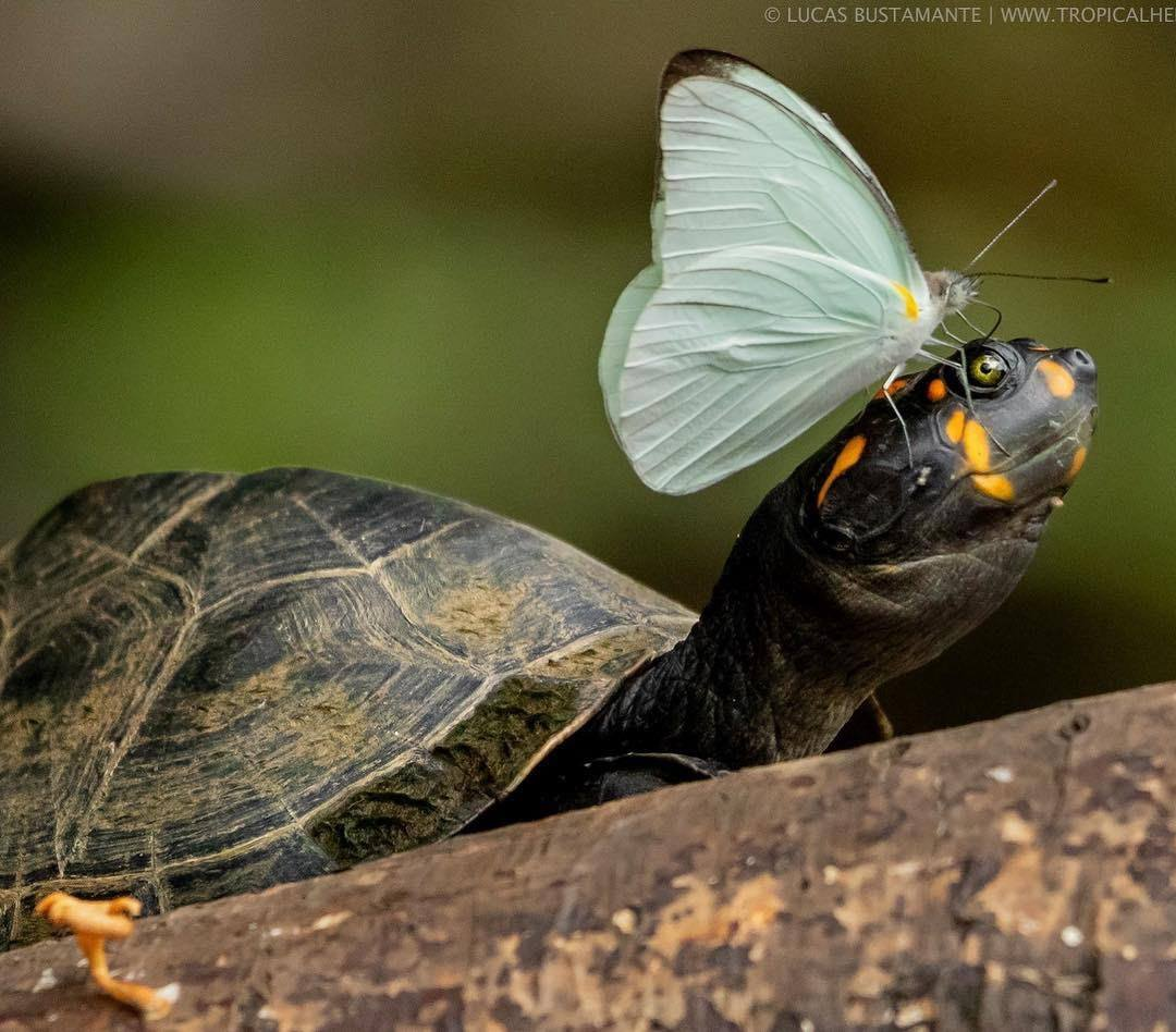 Mottled river turtle with hitchhiker