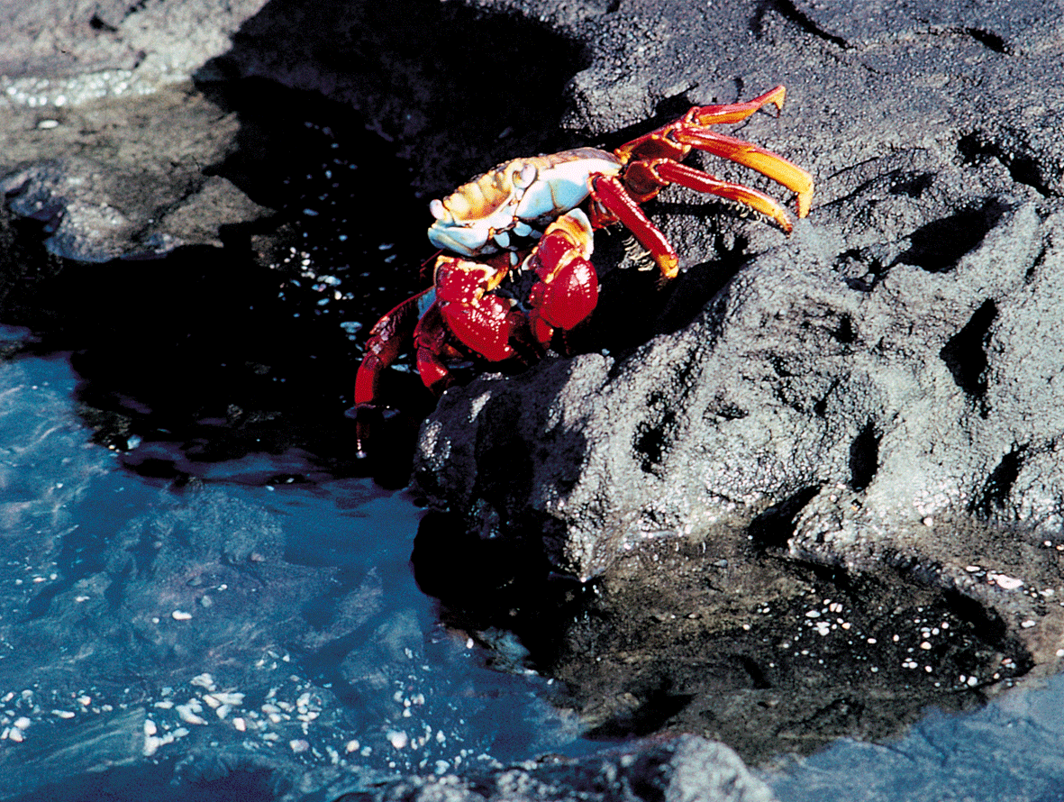 Copy of Sally Lightfoot Crab