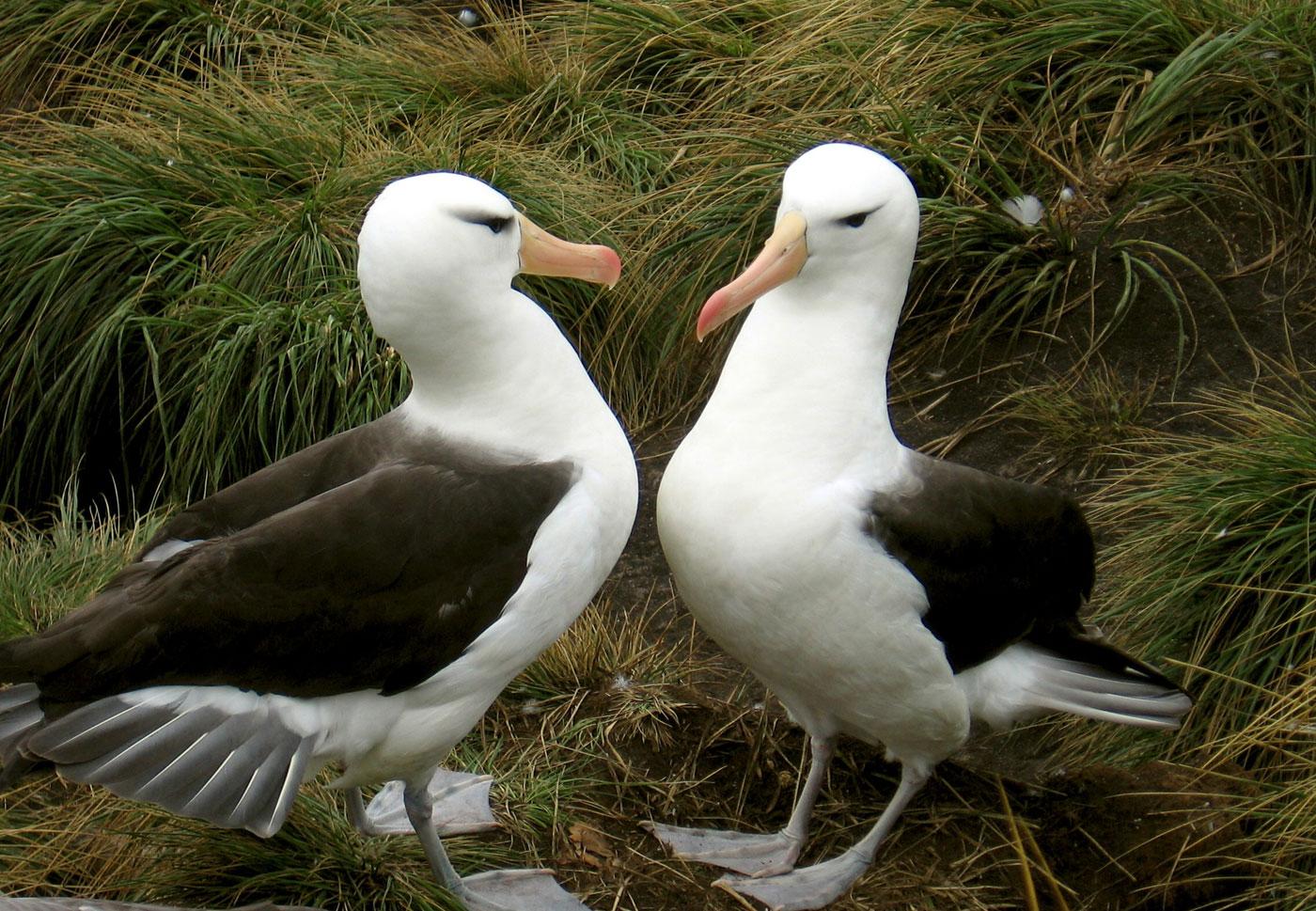 Copy of Black-browed albatross