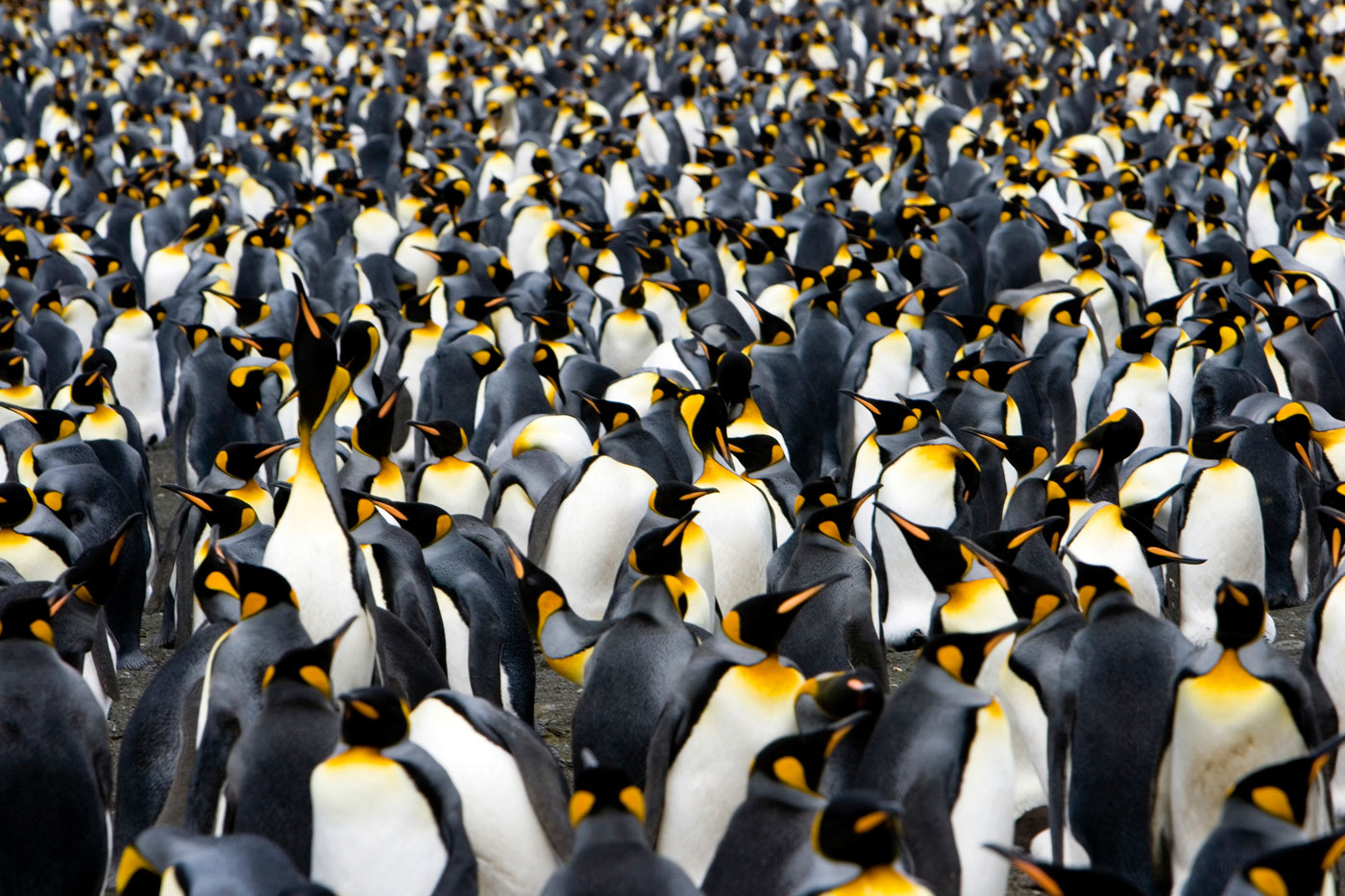 King Penguins by the thousands