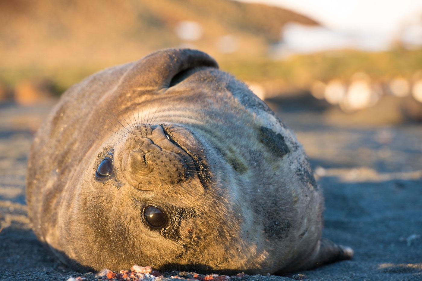 Copy of Elephant Seals