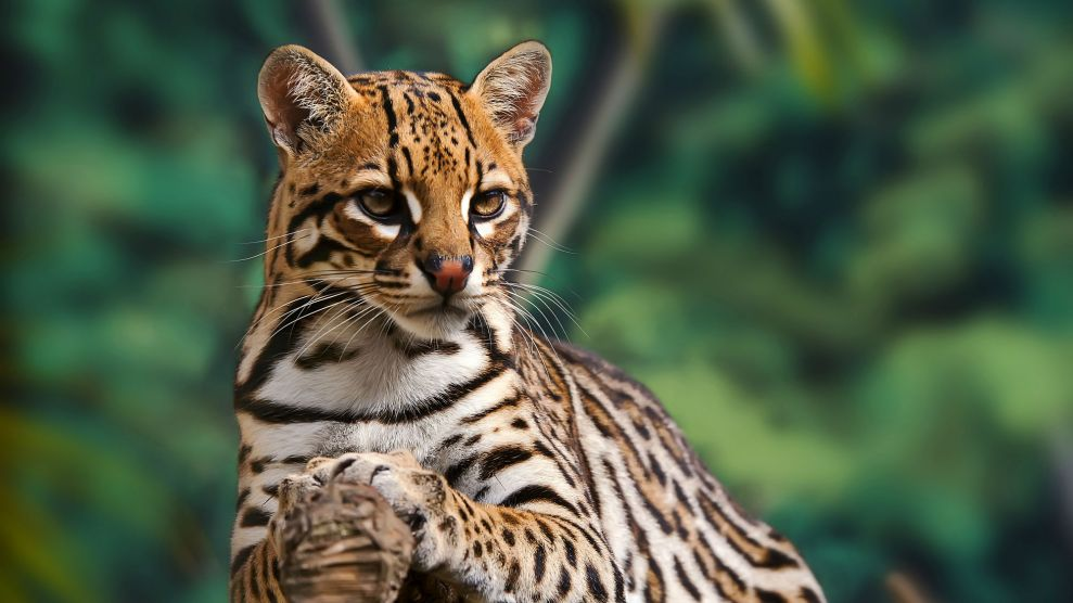 The ocelot is an endangered, wild cat native to North America.  Leonardo Prest Mercon Ro/Getty