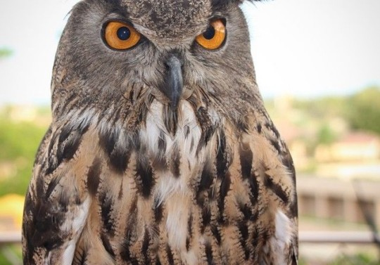 The Owl, The Largest Bird in The Phoenician's Collection