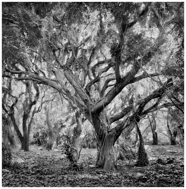 02Honolua Tree 16, 179-8.jpg