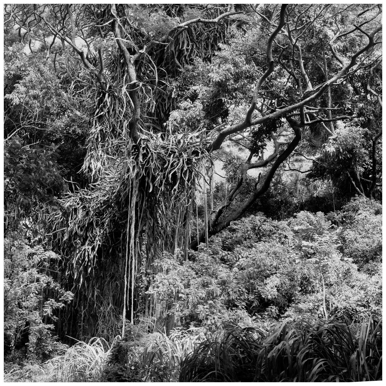 06Honolua, Hillside Growth 136-9.jpg
