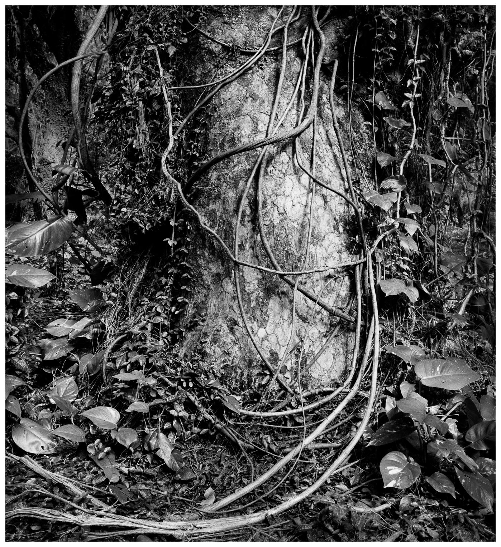10Honolua Trunk and VinesHonolua Trunk and Vines, 134-4.jpg