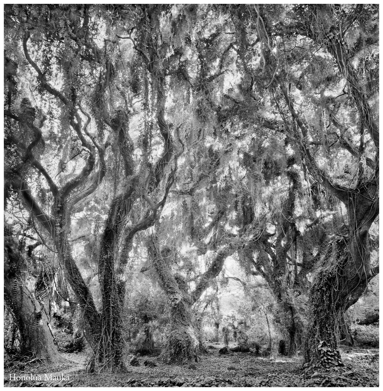 Label 01Honolua TreesHonolua Trees 16, 179-1.jpg