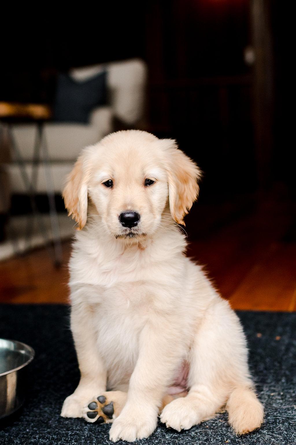 Vermont Ski House Golden Retriever Puppy