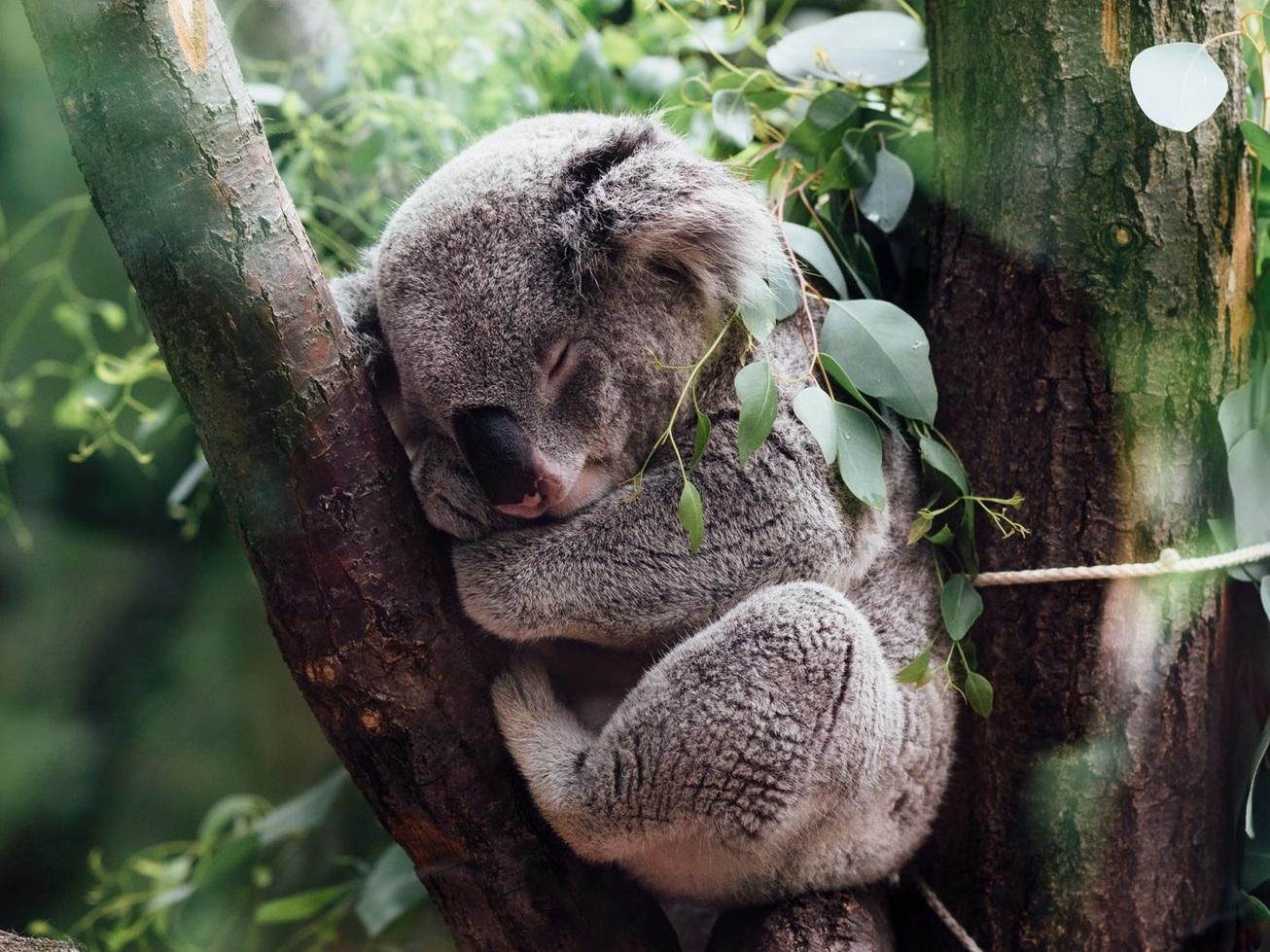 koala%2Bsleep.jpg