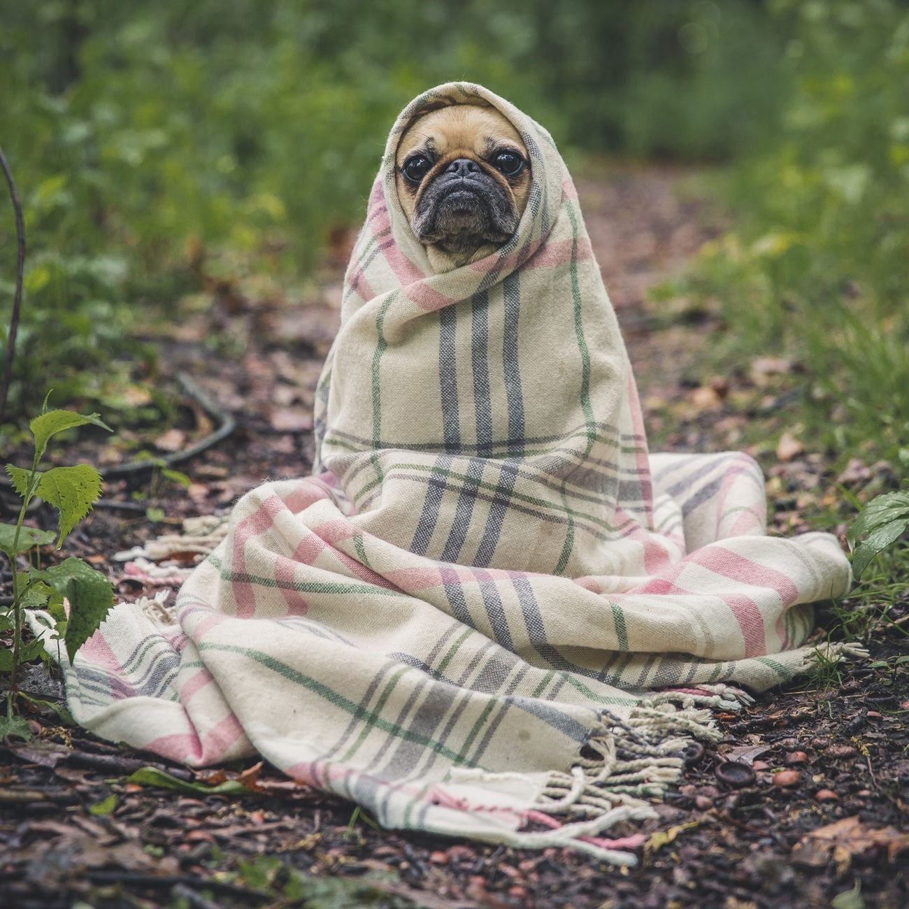 pug+in+blanket.jpg