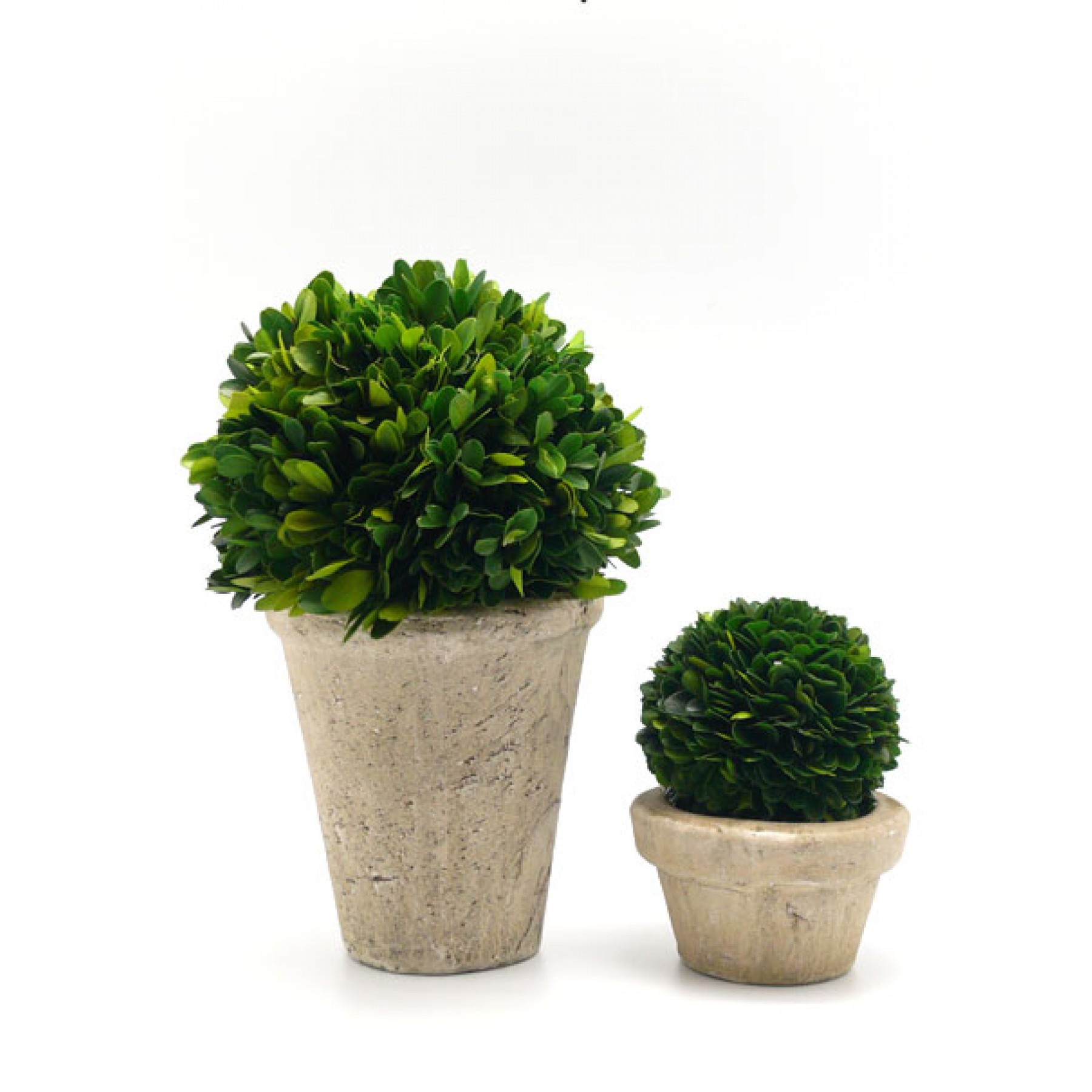 Preserved Boxwood Balls in Pots