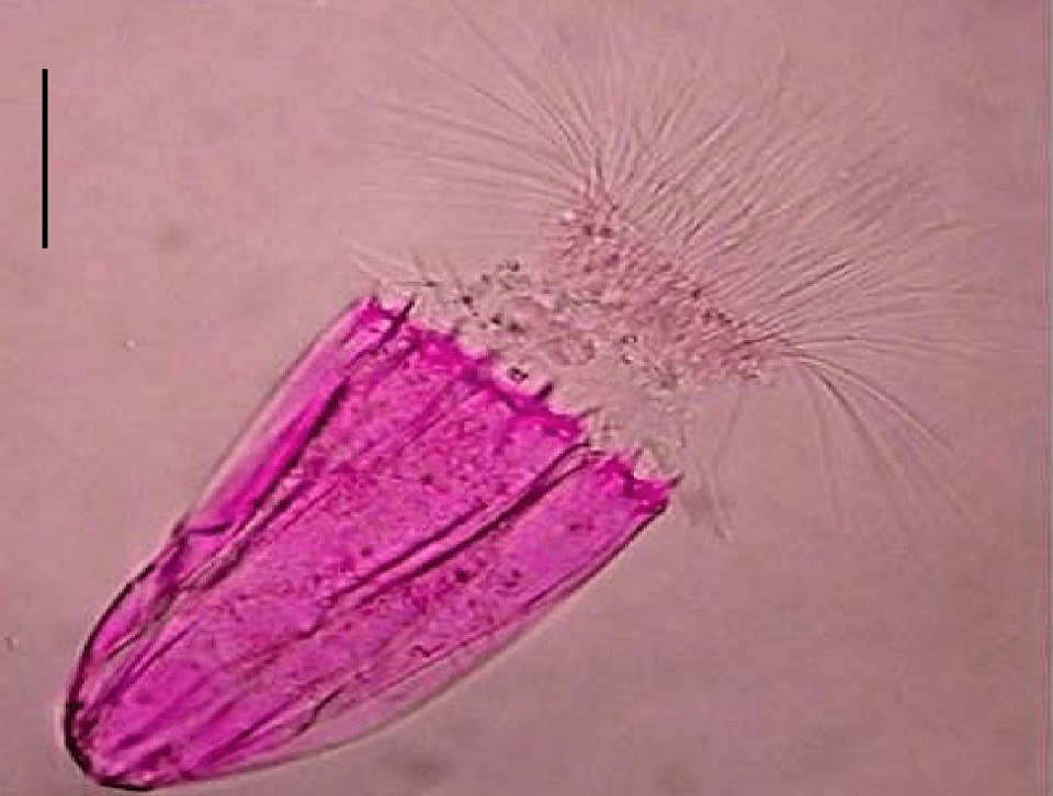 """""""To date, this tiny microscopic organism is the only member of the animal kingdom known not just to survive, but  thrive  in a completely oxygen-free (anoxic) environment."""" -  https://earthlyuniverse.com/10-animals-live-extreme-environments/"""