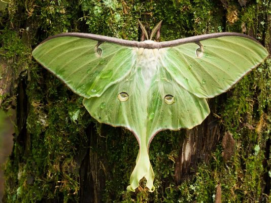 """""""As with many other silk  moths Luna Moths  do  not feed  as adults. The food/energy for its adult stage is stored while it is in the caterpillar stage of life. Therefore the Luna Moth  does  not  have a proboscis (the long slender mouthpart) that is found on many other  moths  and butterflies."""" -  https://www.clemson.edu/extension/publications/entomology/beneficial-insects/luna-moth-bb07.html"""