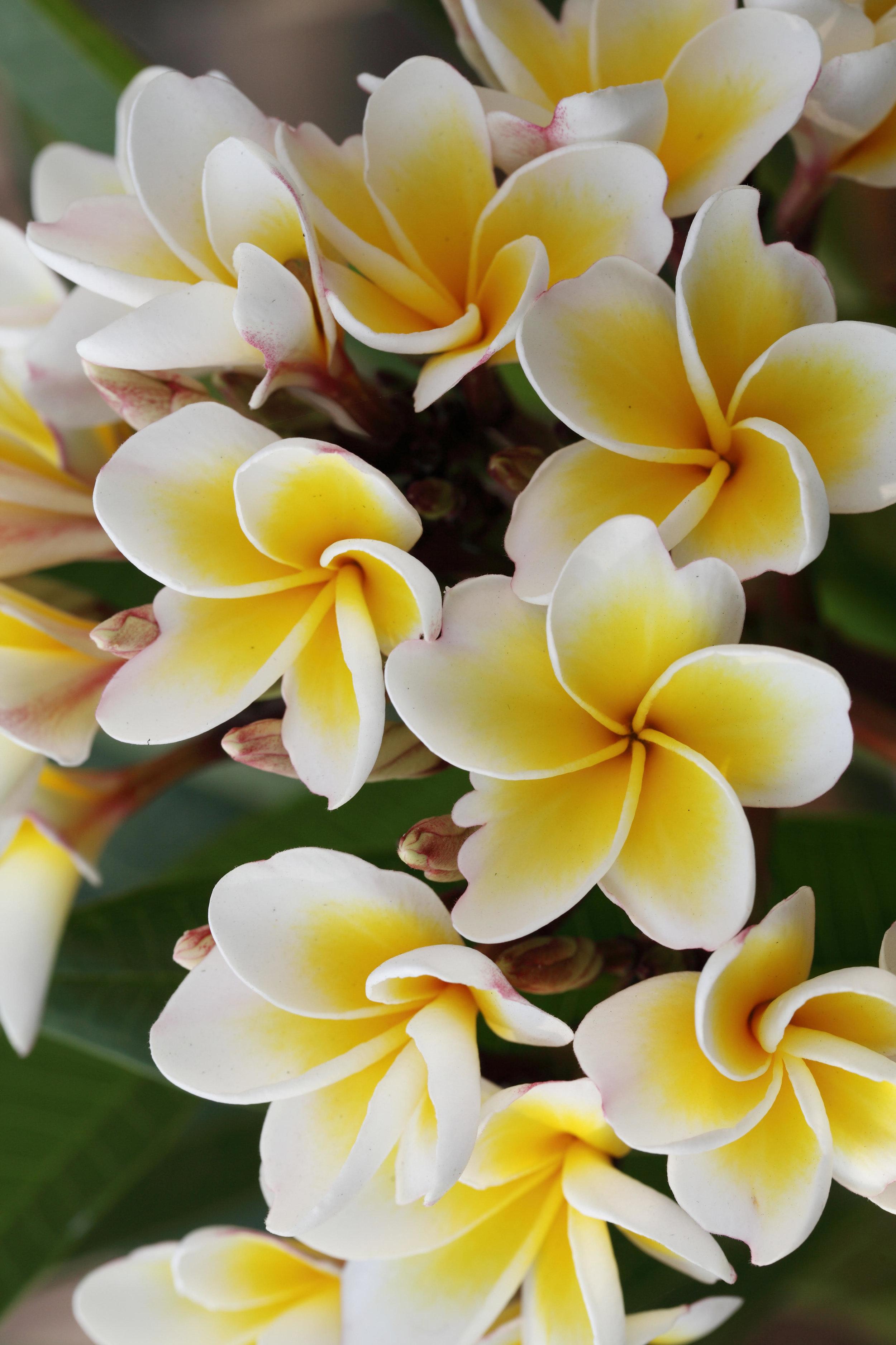 Hawaii Flowers.jpg