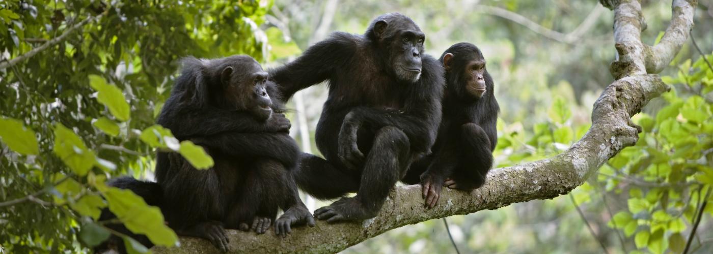 chimp-banner.jpg