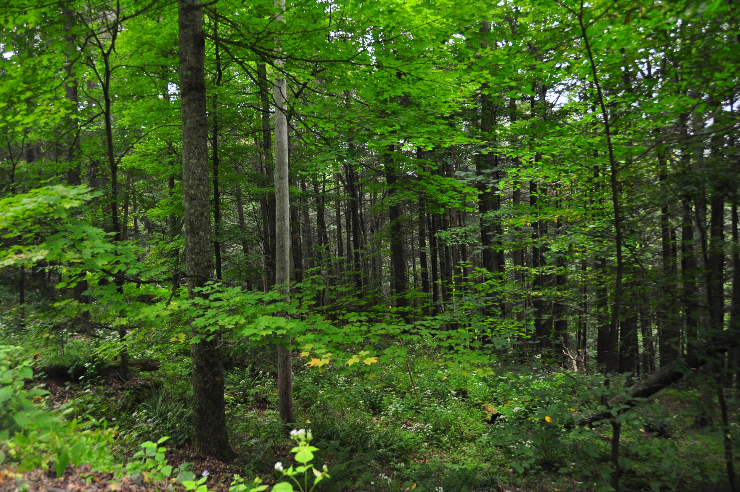 Sprucewood_forest.JPG