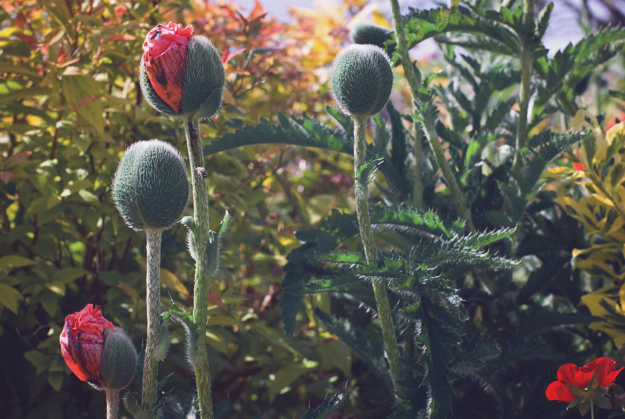 Grannie's Poppies, Meadowbarn garden