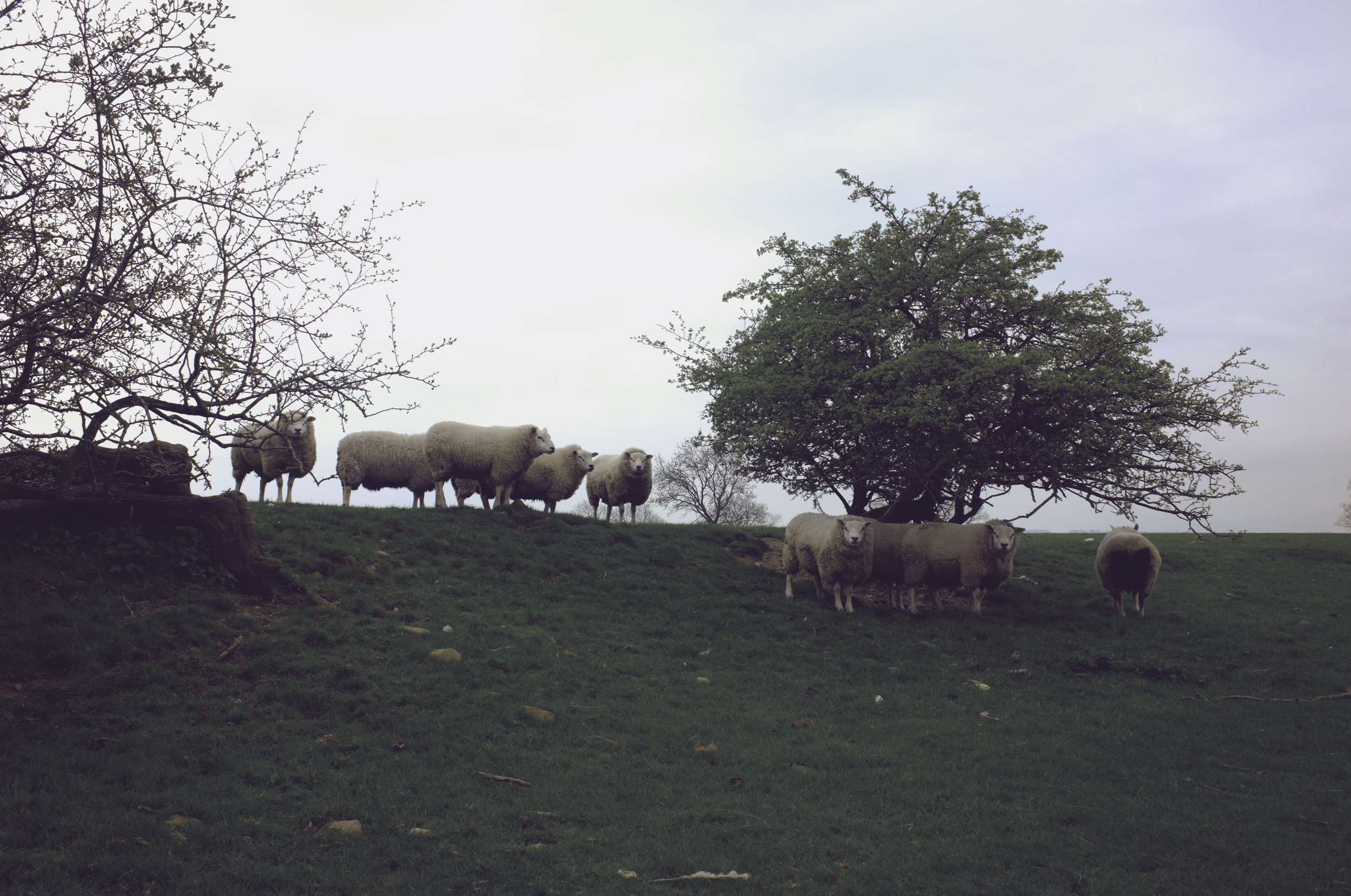 These sheep stand next to Grandpa's resting place, now where Grannie will rest also, overlooking Meadowbarn, Bridge Banks, and the glorious Yorkshire countryside.