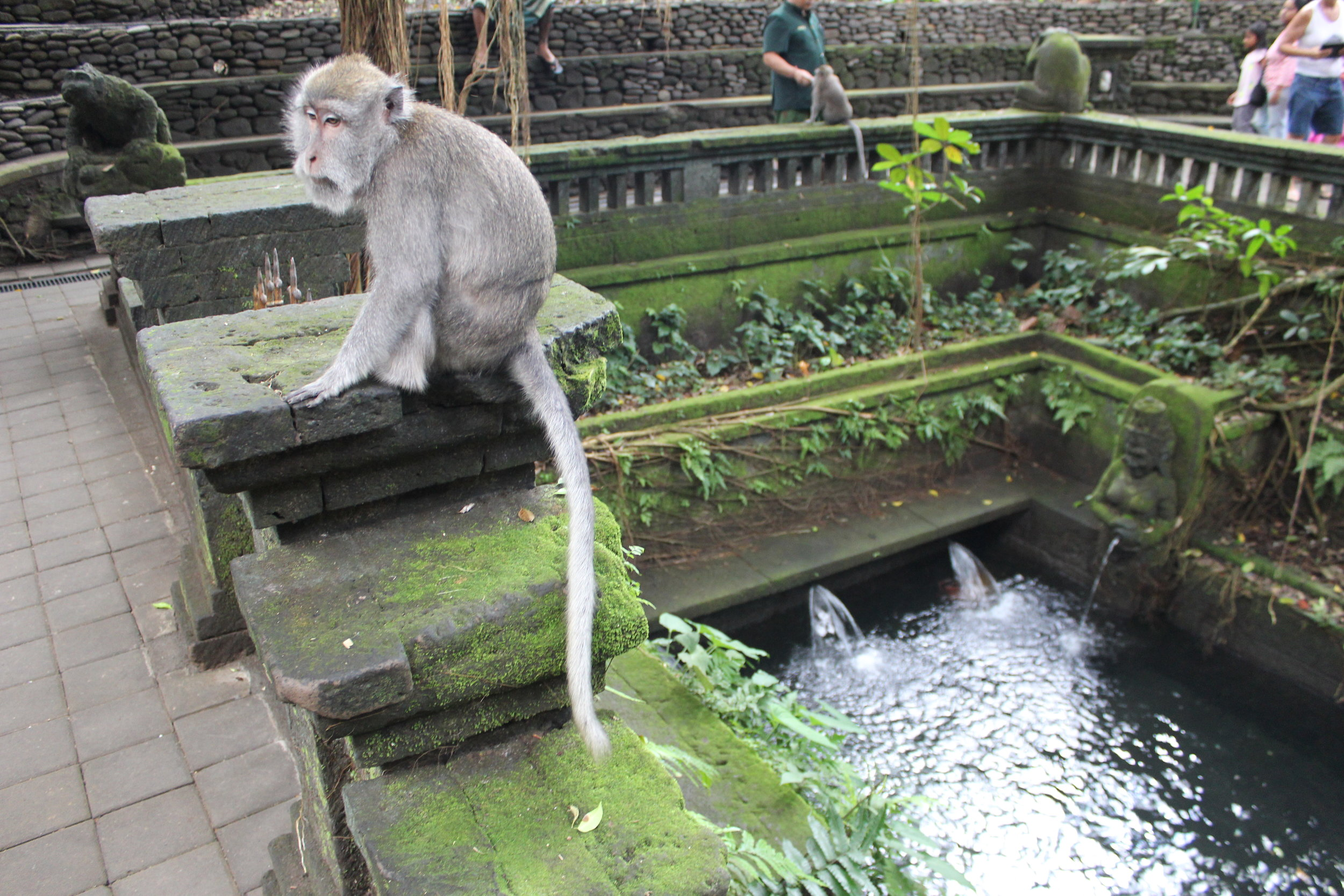 An inhabitant of the Monkey Forest in Ubud, Bali