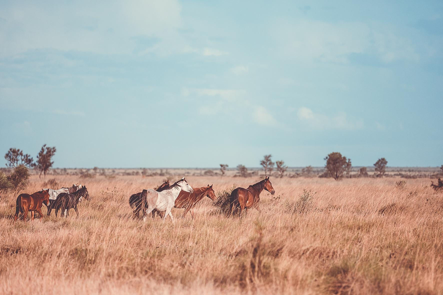 Desert brumbies - Beautiful beasts or feral pests    Tanami Desert, Warlpiri country, NT,2016