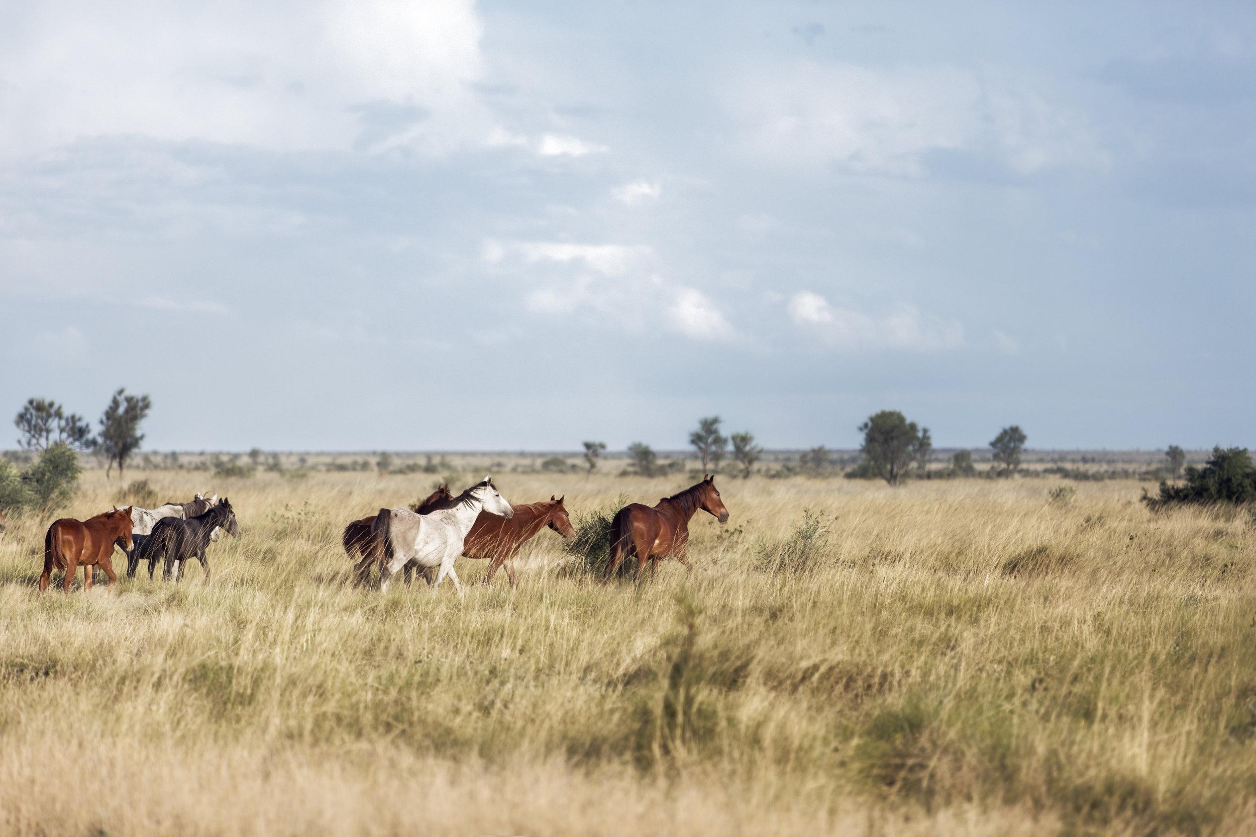 9     Desert Brumbies       -19.893402, 128.961085     Tanami Desert, Warlpiri country, WA,2016