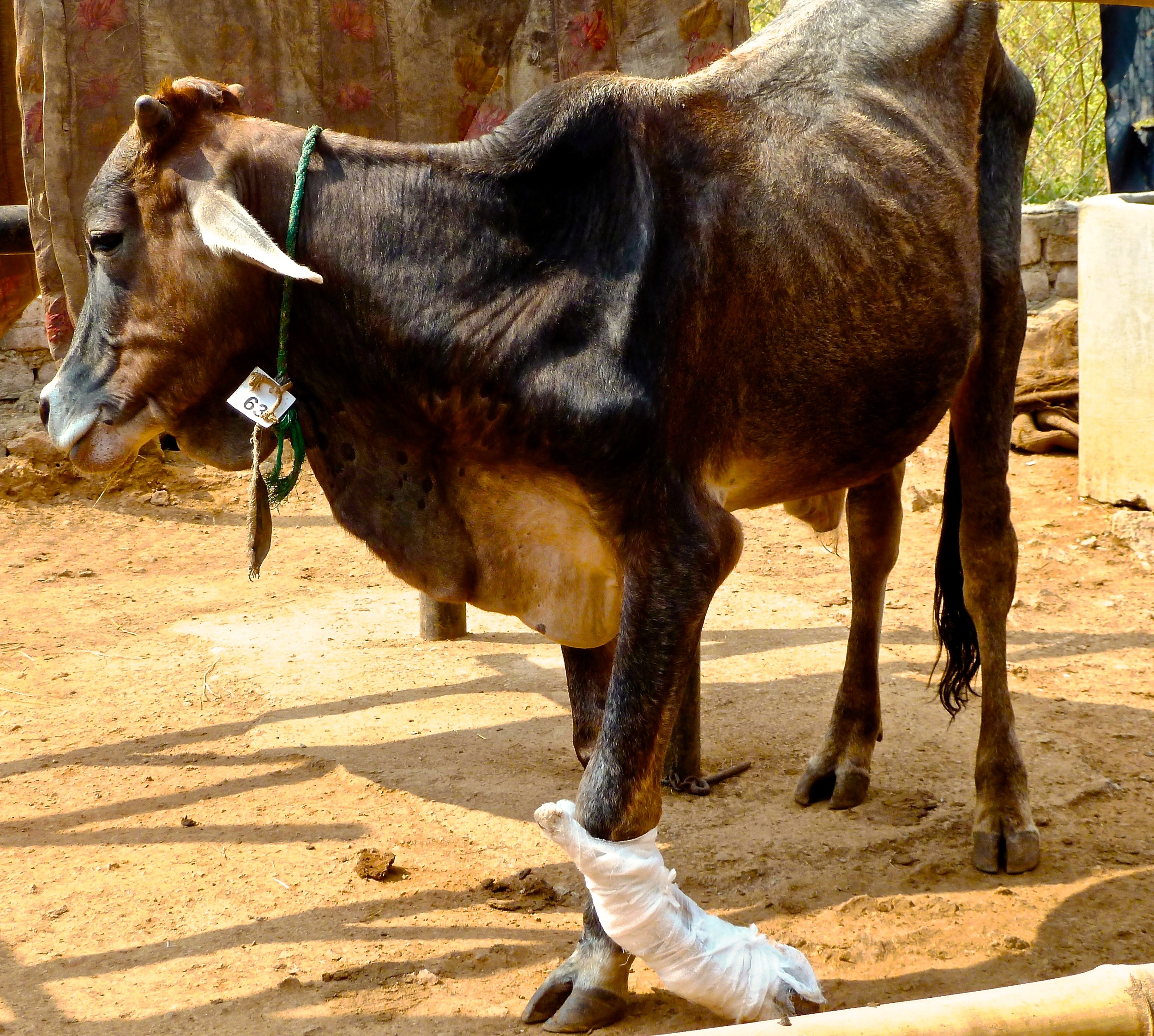 The sacred animal of India endures a painful fracture