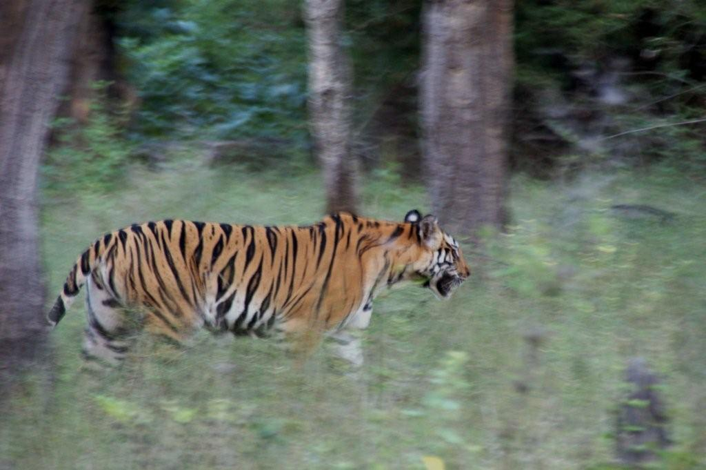 A tigress enchants us on our path