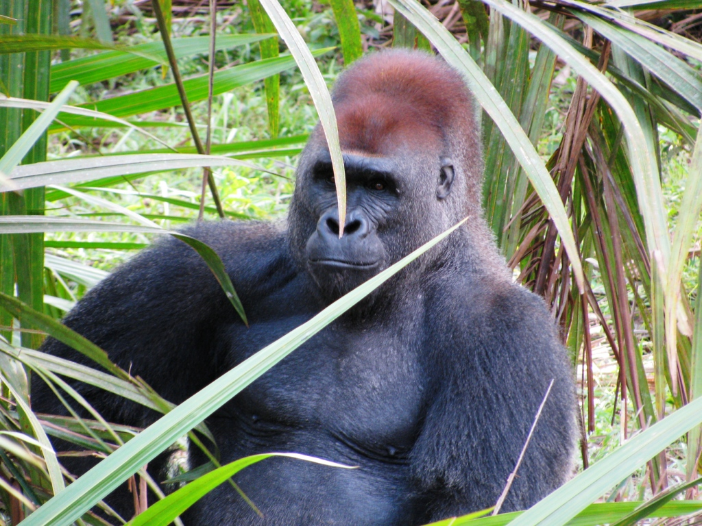 Mabeke, the silverback rescued from a laboratory