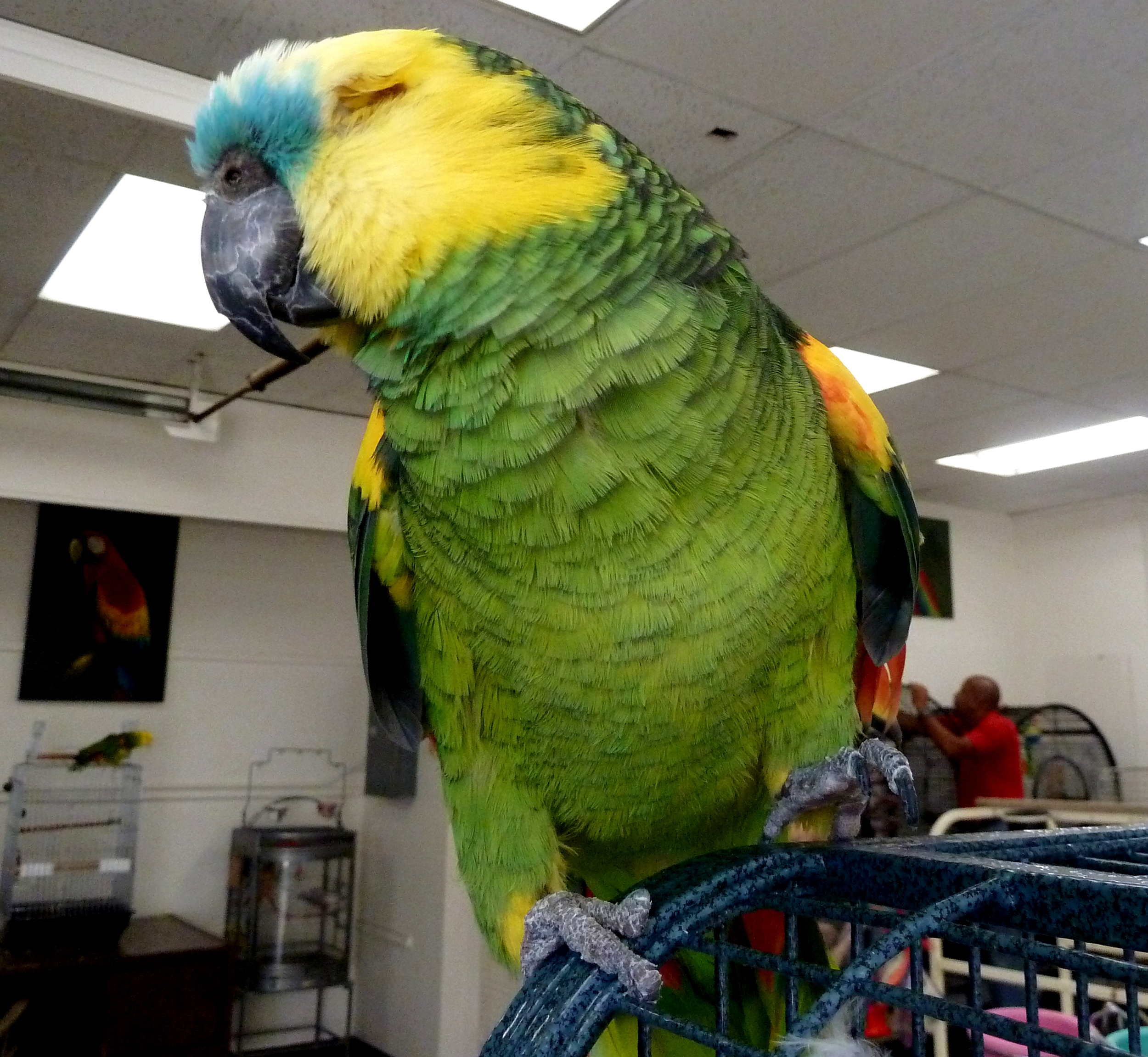 PJ the Amazon parrot lost his eye from infection and was surrendered the San Diego Bird Rescue (SDBR) when his owner died.