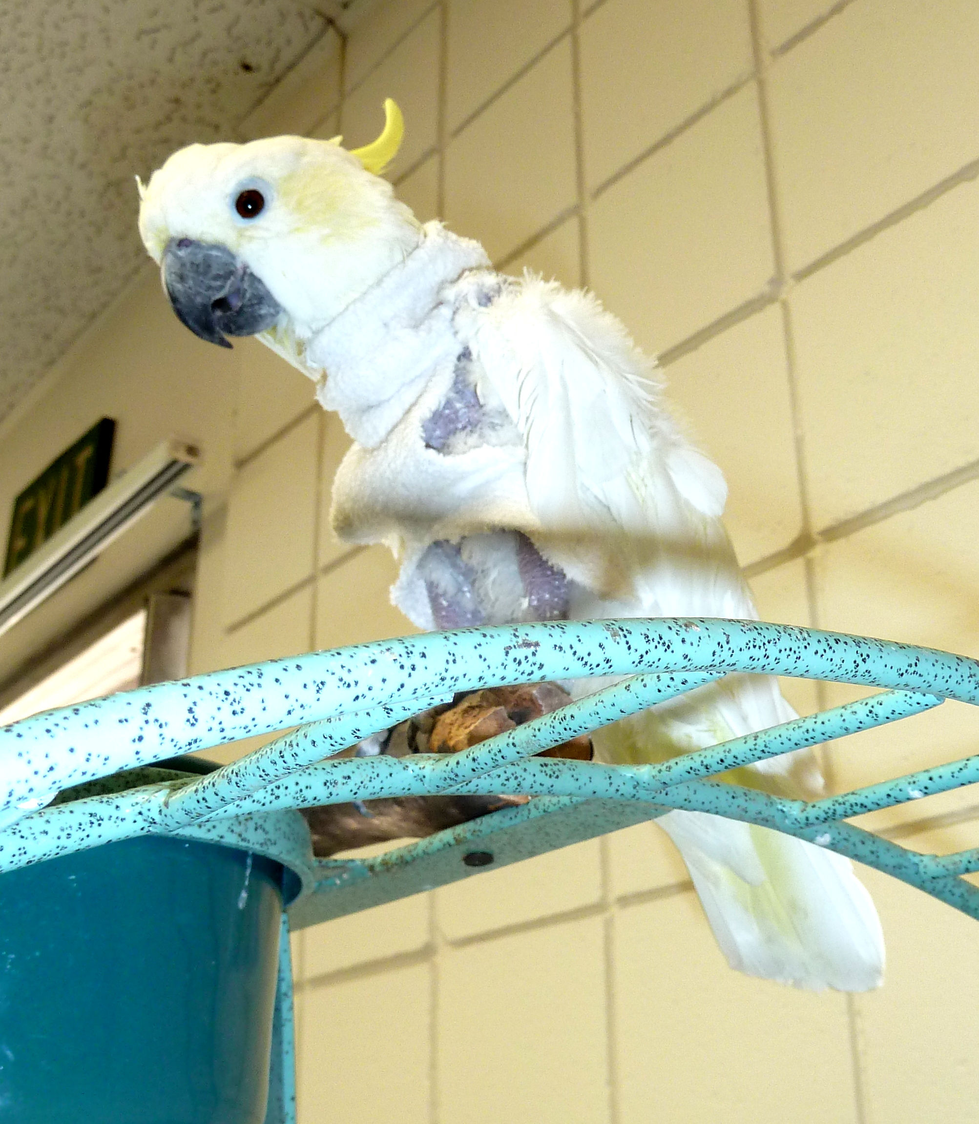 Pebbles, the Lesser Sulfur Cockatoo, lives in a straight jacket to prevent himself from feather plucking at the SDBR.