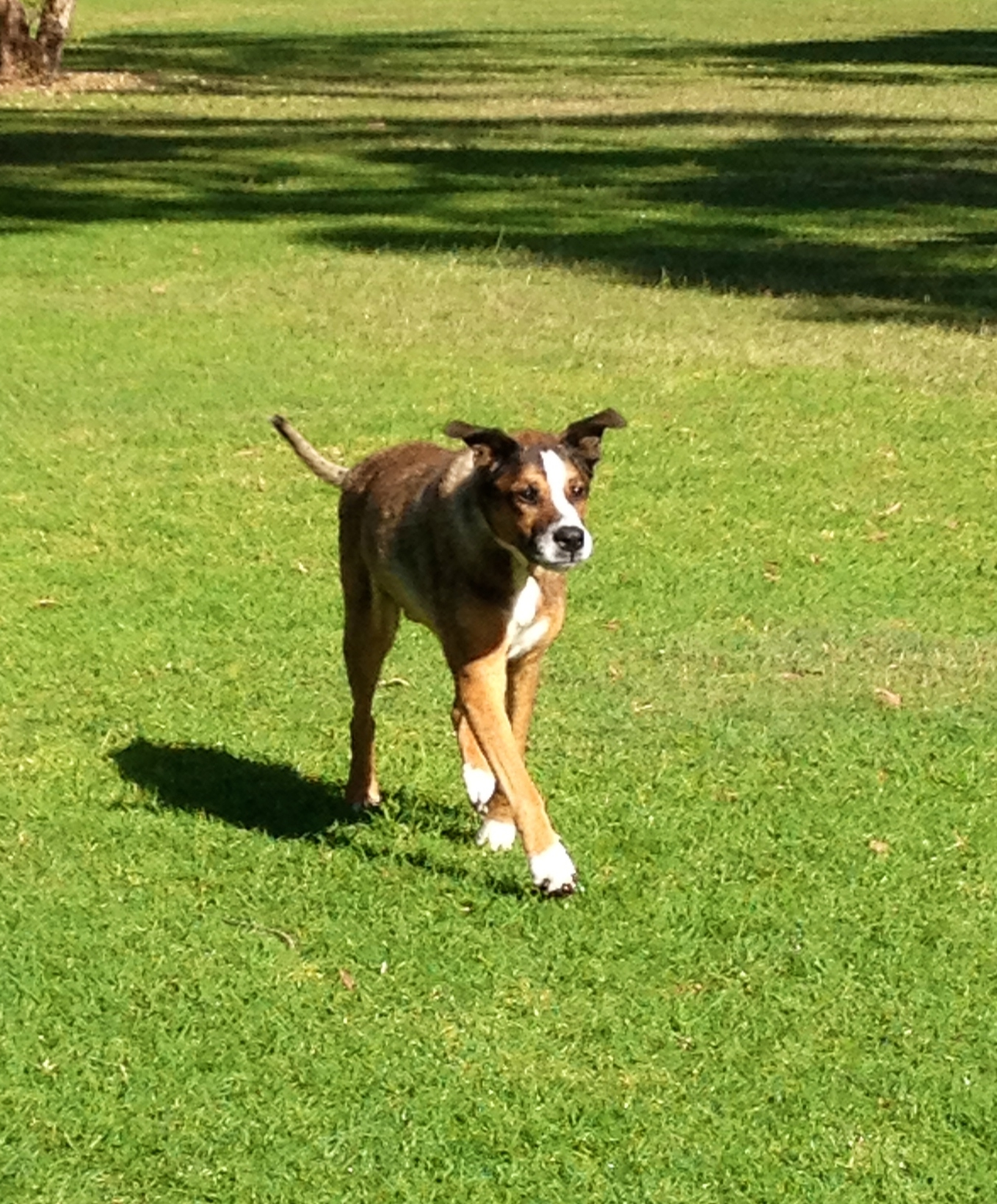 Chico trots through a dog park in Sydney after acupuncture therapy using moxibustion.