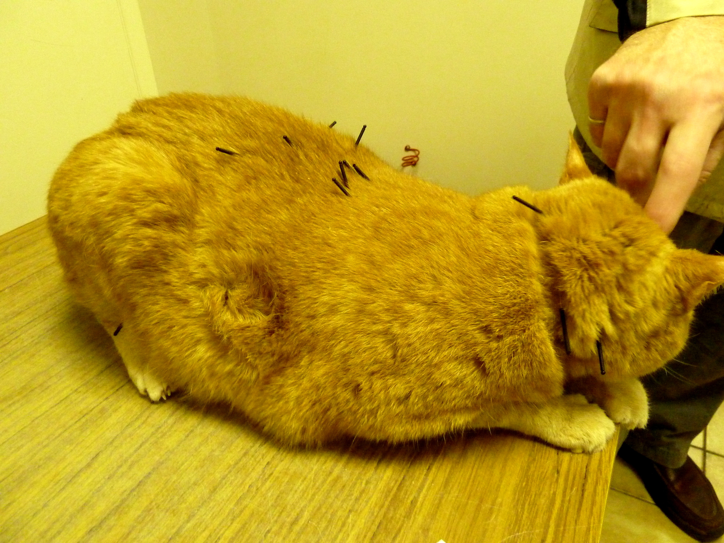 Cheddar was a patient being treated for a psychological and neurological condition, and sits patiently during heracupuncture treatment.