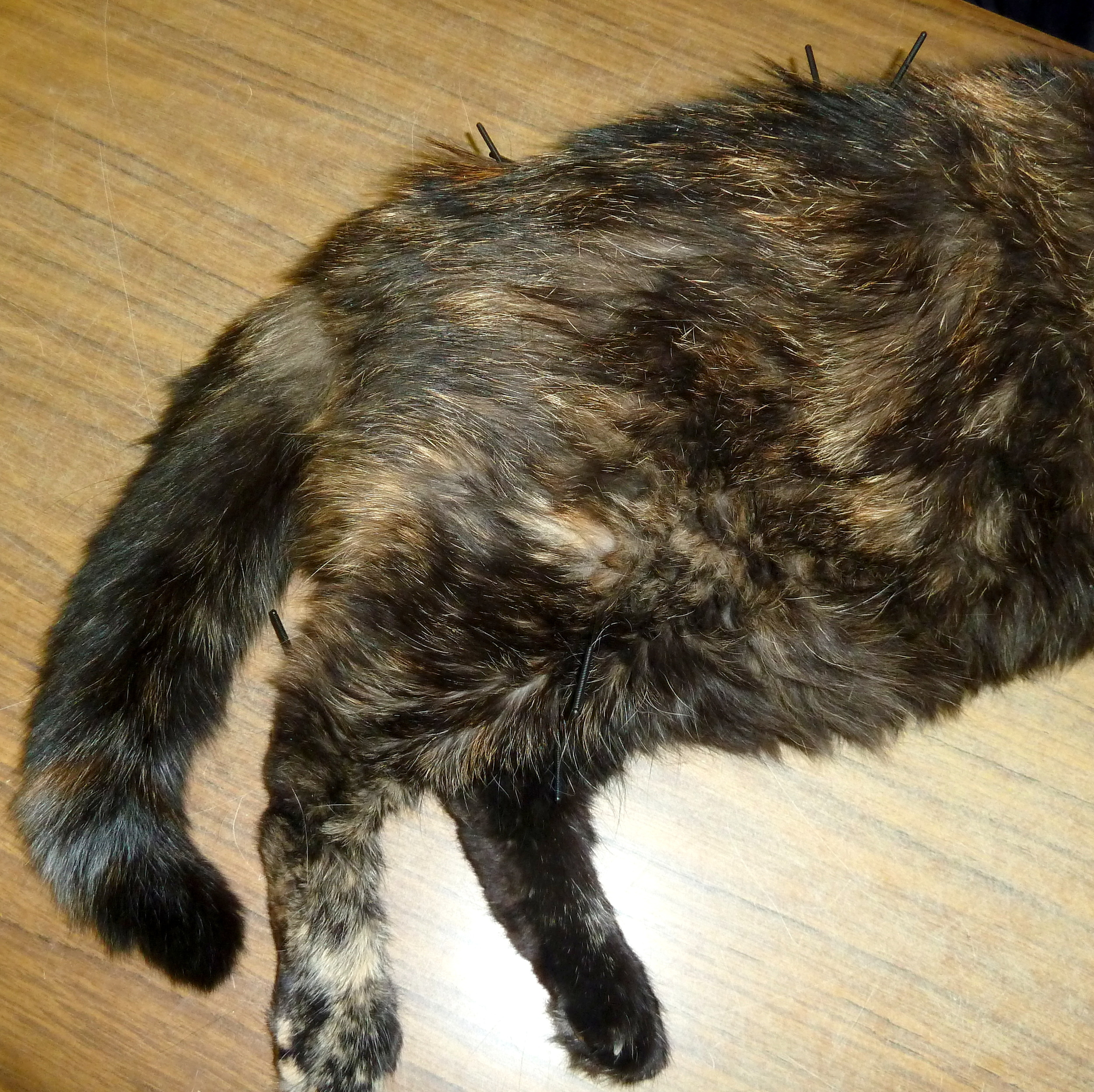 Murphy did not like being at the veterinary clinic. She would hiss and protest. After her second session, she was an acupuncture addict, often remaining still for the full 10 minutes of needle placement.
