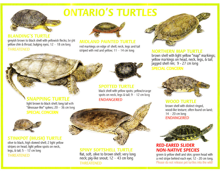 Ontario's Turtles