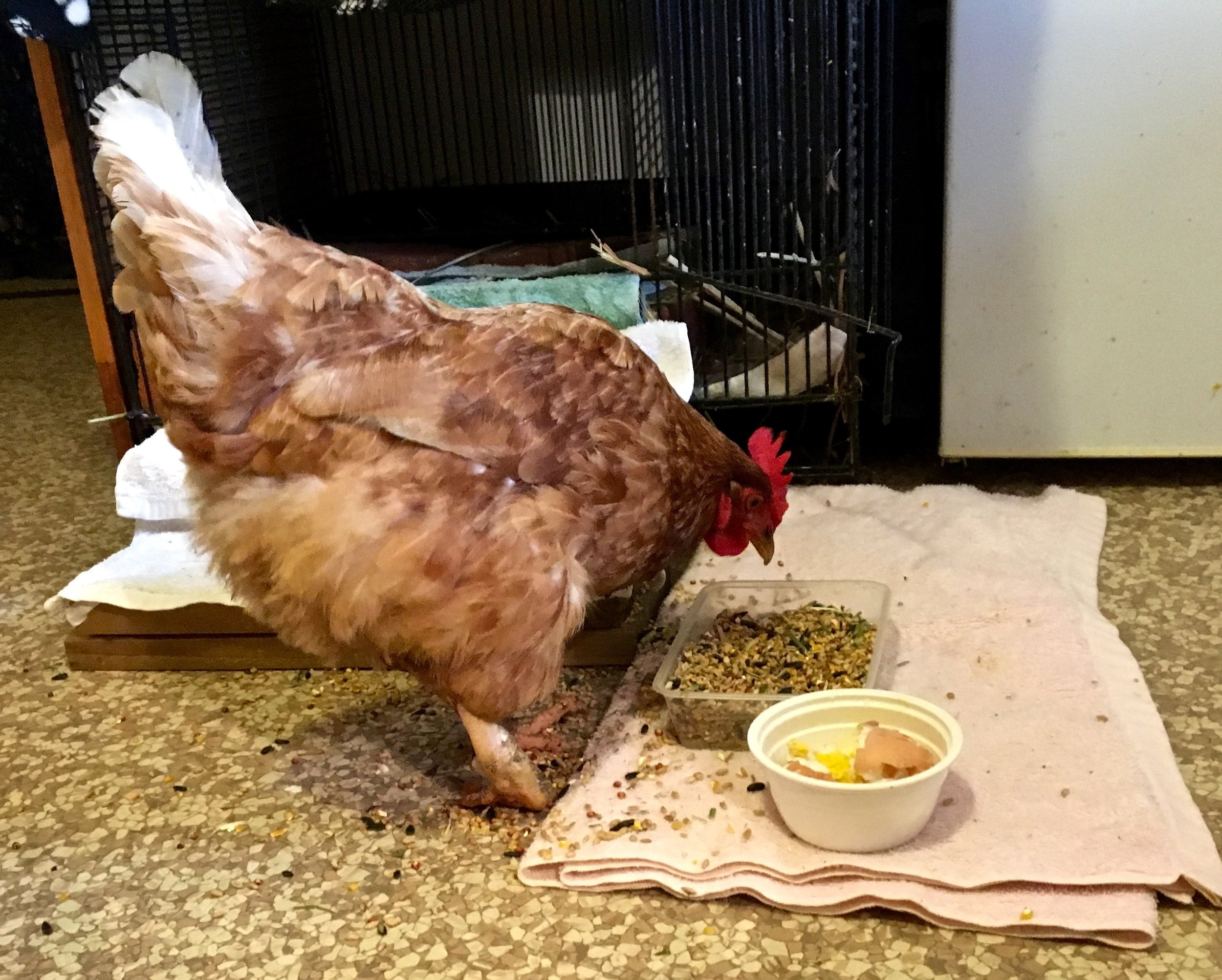 This rescued battery hen enjoys her breakfast buffet while recovering in hospital.