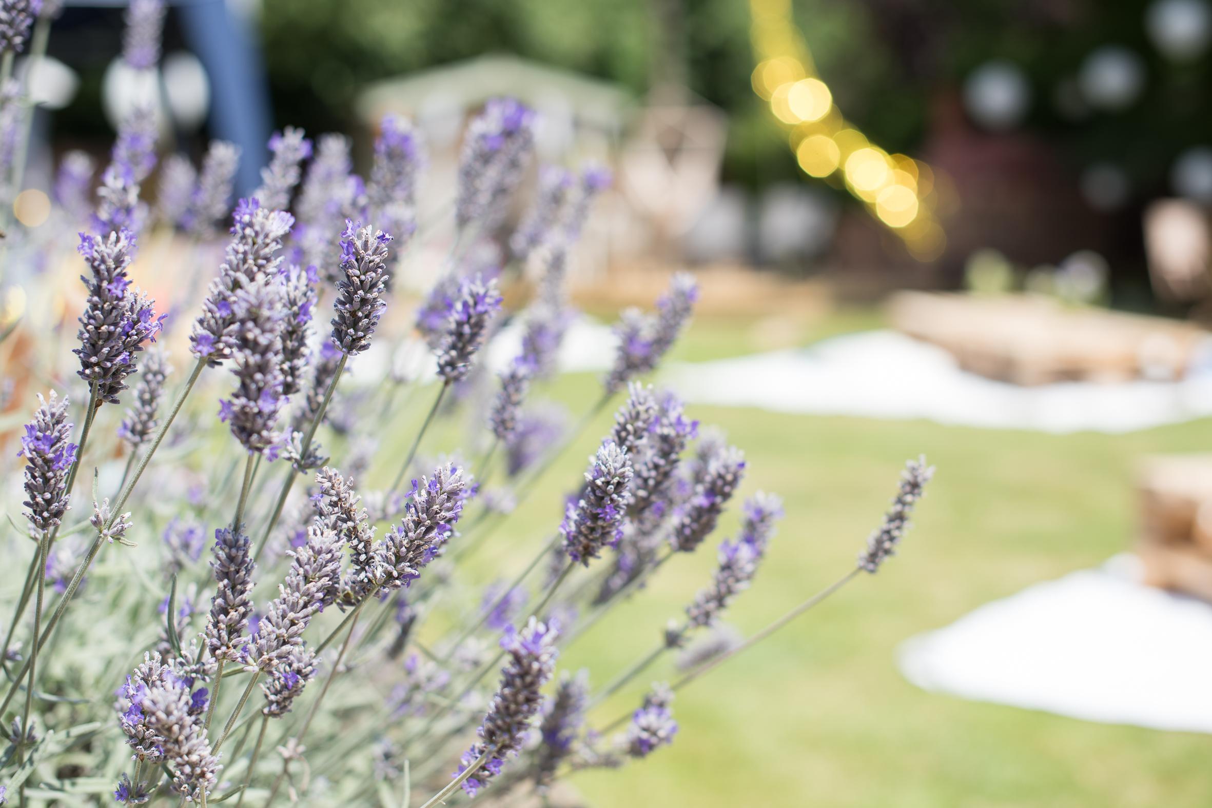 home grown Lavender