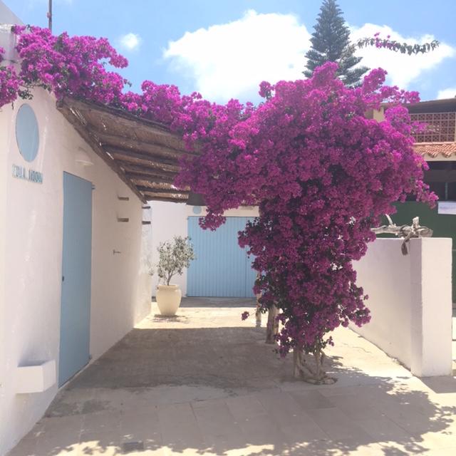 Ibiza Bougainvillea