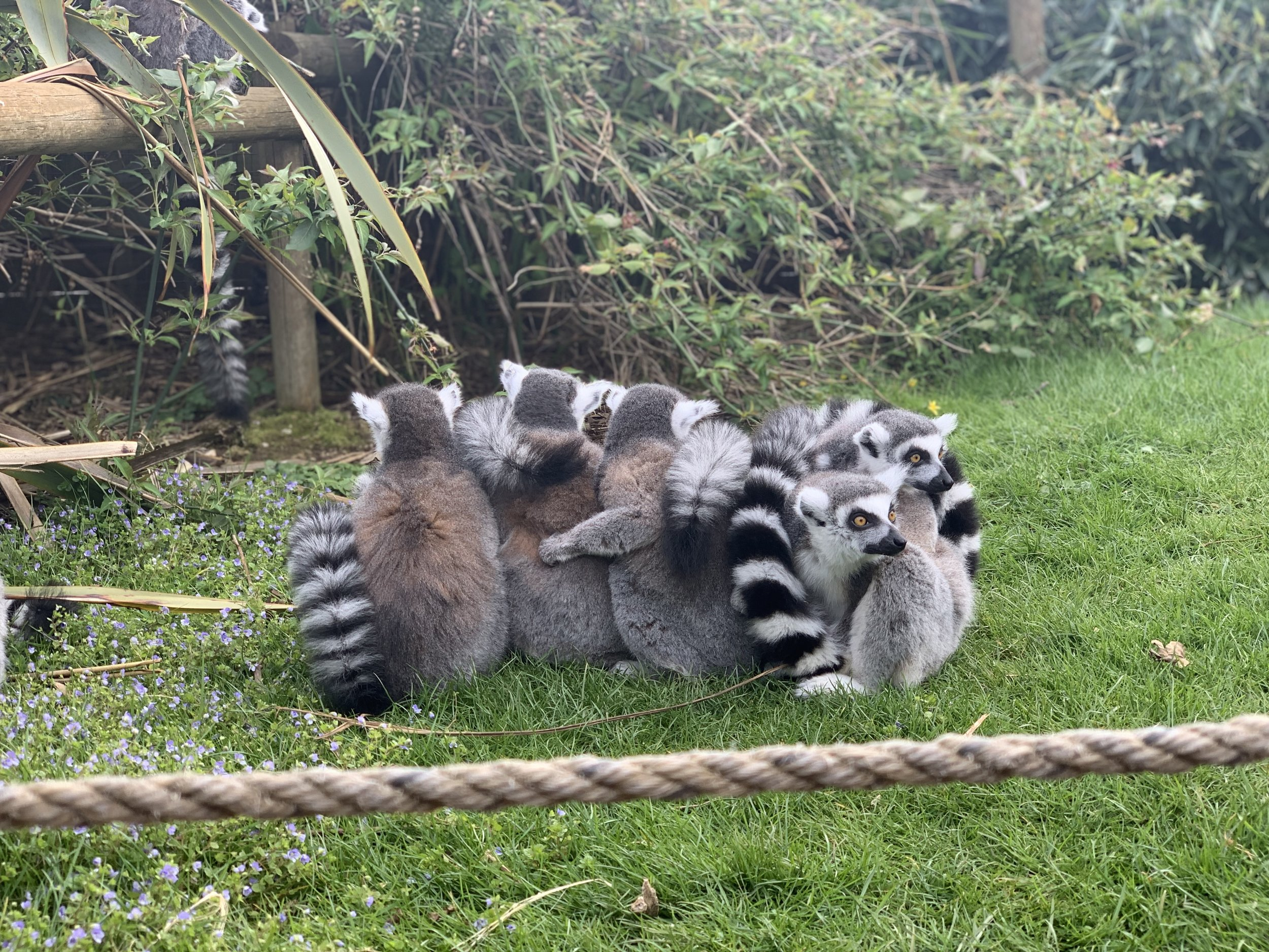 Cotswold Wildlife Park Ring Tailed Lemurs