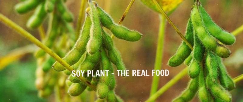 ripening-soya-beans-in-field-n.jpg
