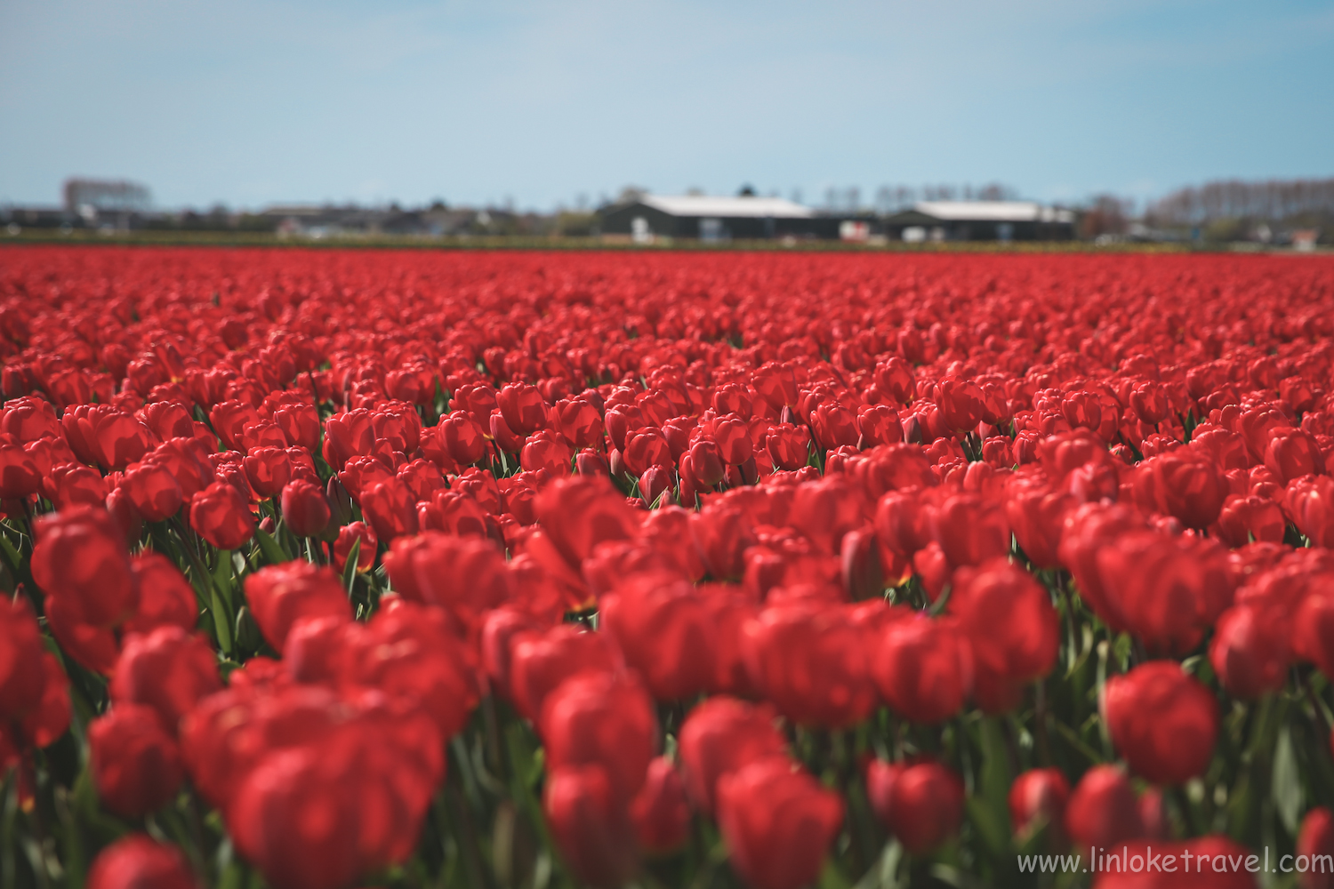 Bold red tulips