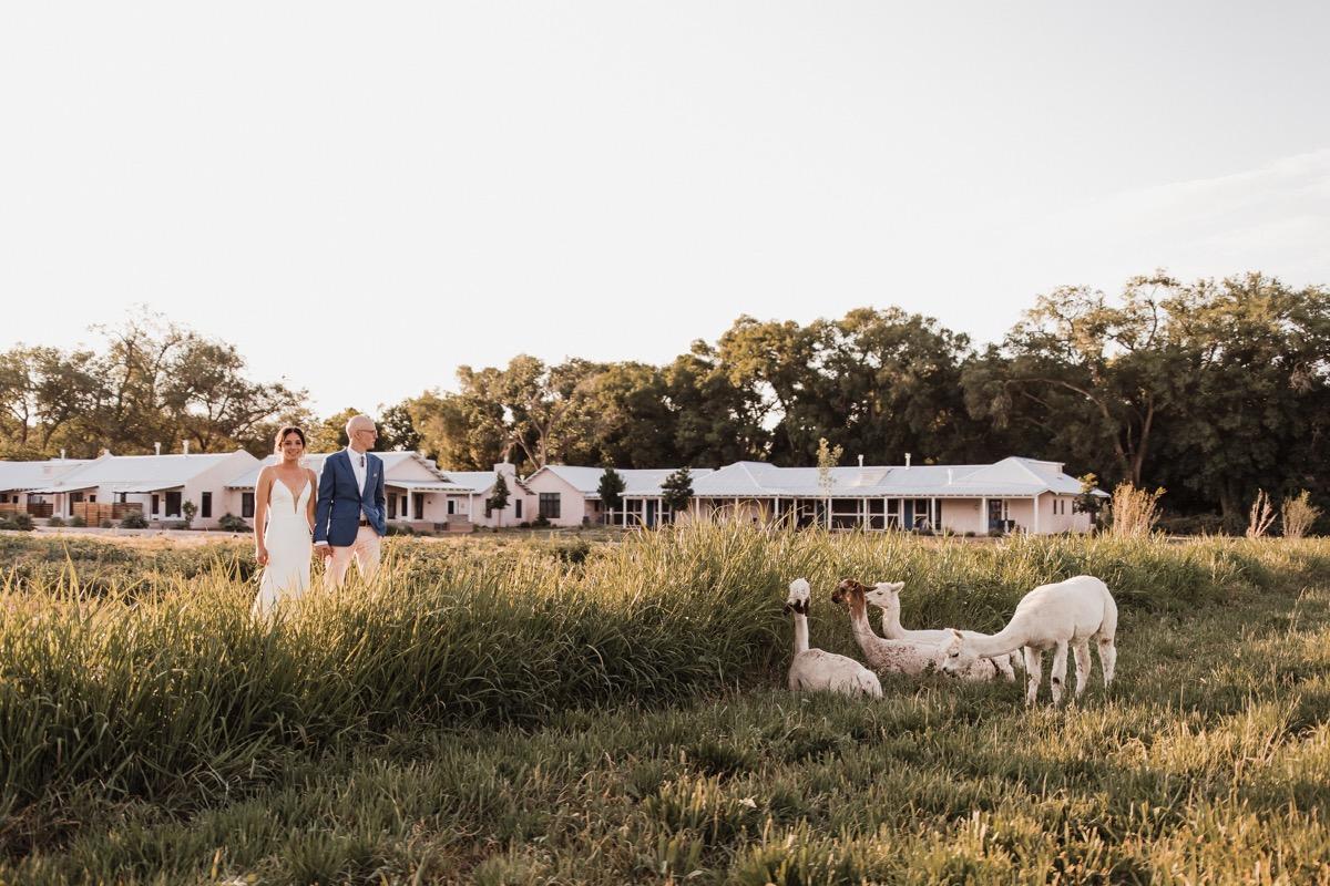 lAVENDER FARM WEDDING ALBUQUERQUE NEW MEXICO ALICIA LUCIA PHOTOGRAPHY COUPLE IN FIELD WITH LLAMAS