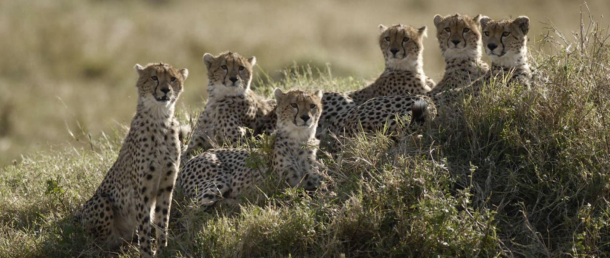 Cheetahs of the Maru