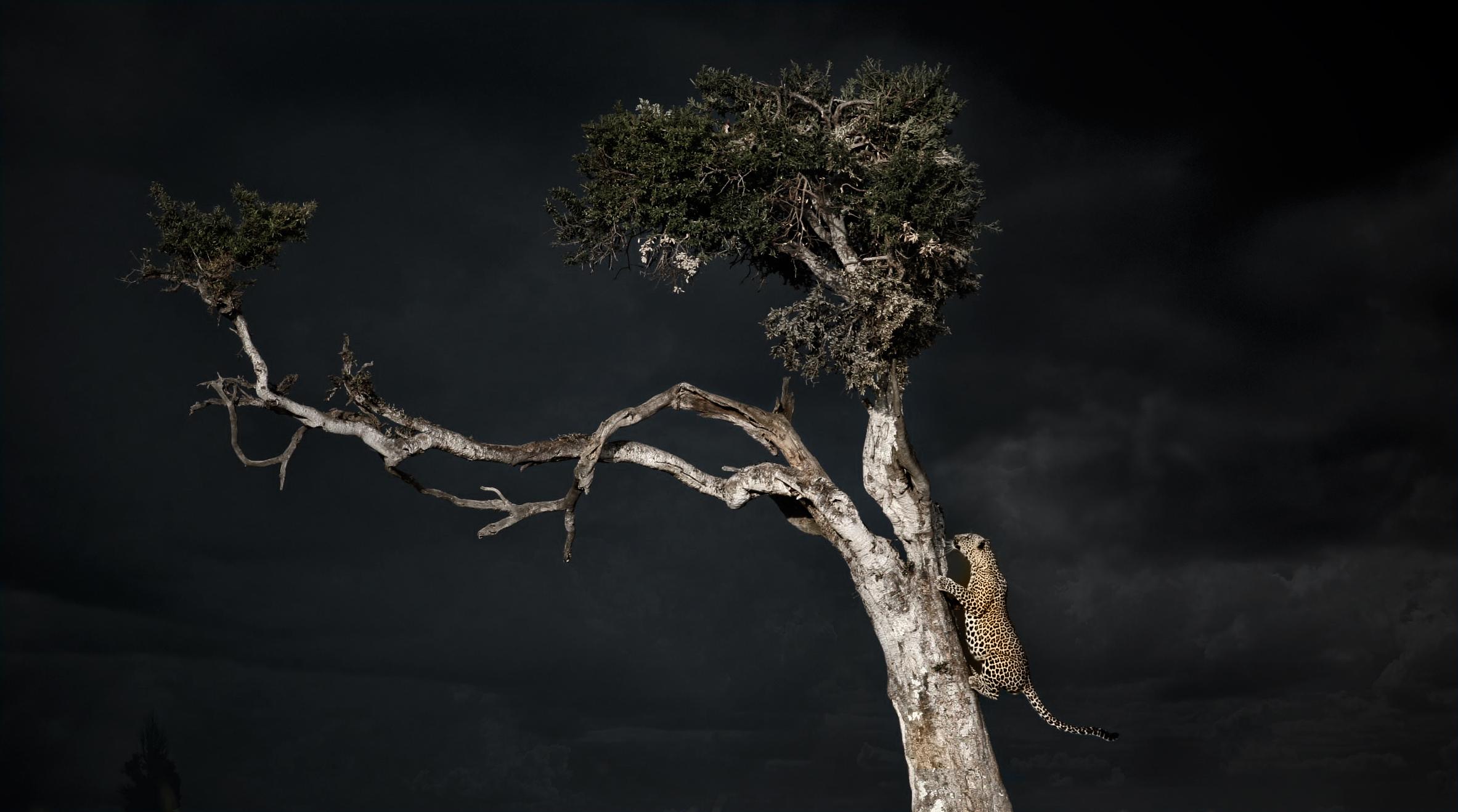 Chui-climbing-tree-in-storm-Mara.jpg