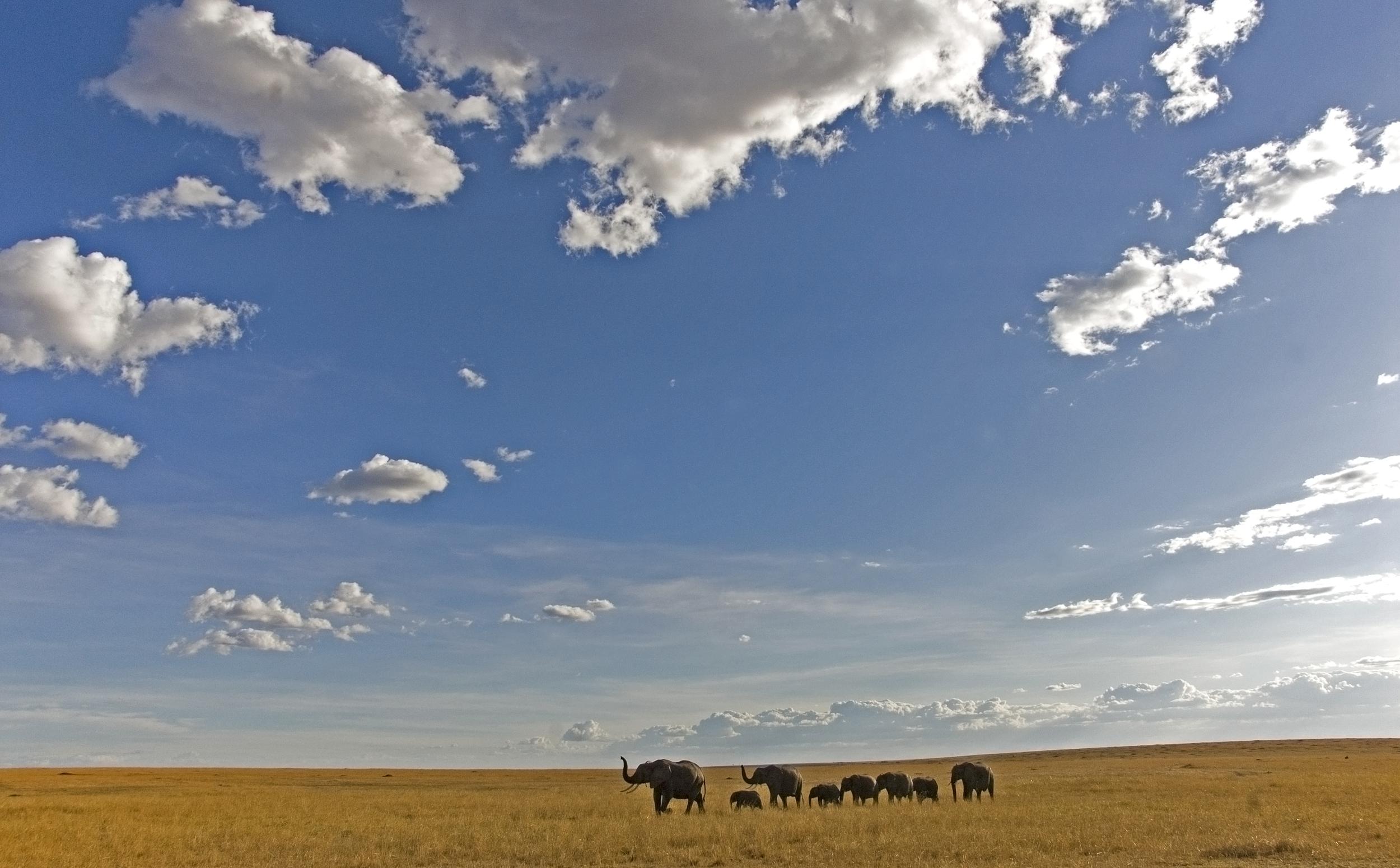 Breeding herd of elephants Mara.jpg
