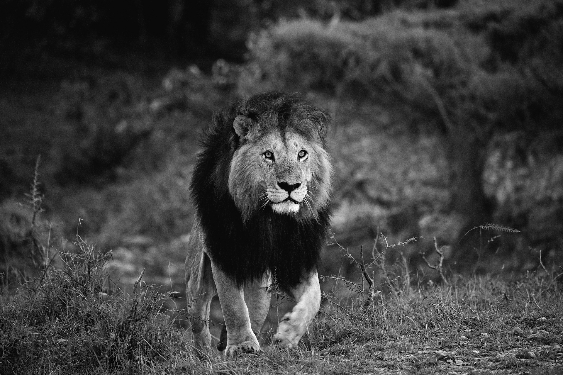 Notch male lion Mara-7995.jpg