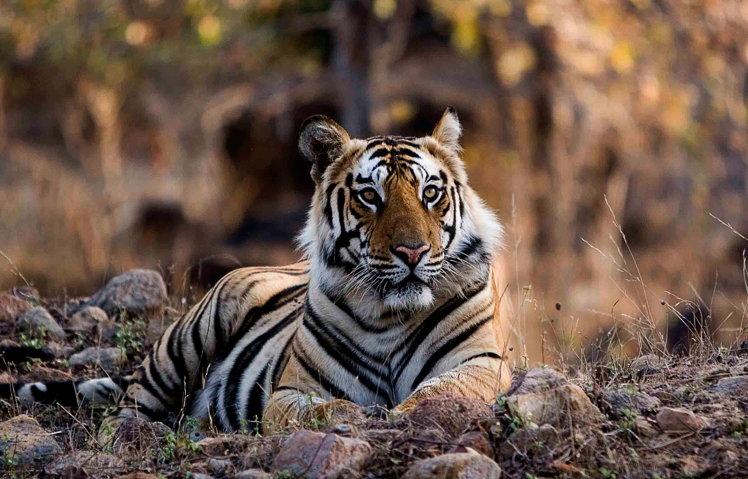 Tiger-Male-morning-Bandhavgarh-2007.jpg