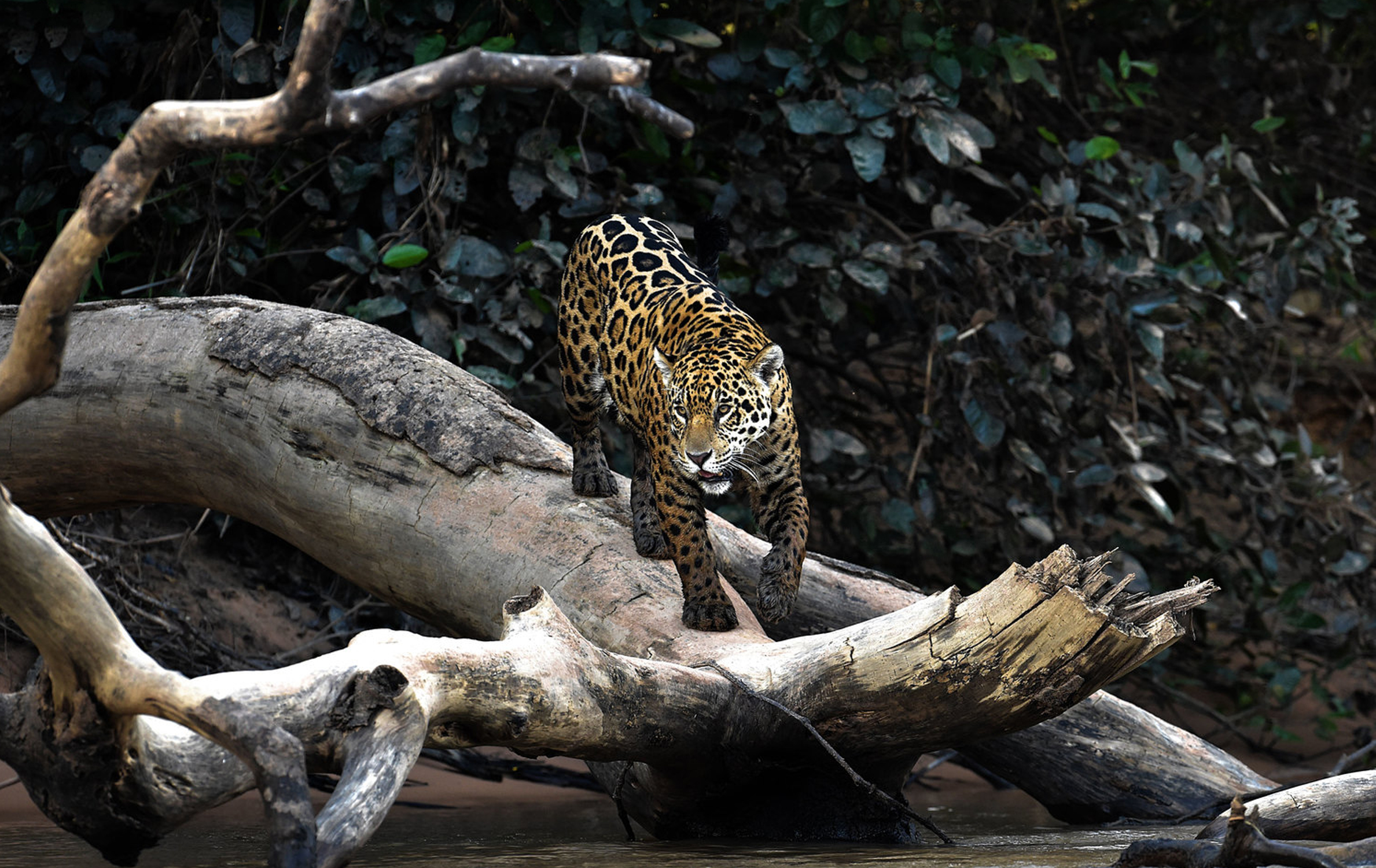 The Melting Pot -Wildlife captured on safari in the remote regions of South America