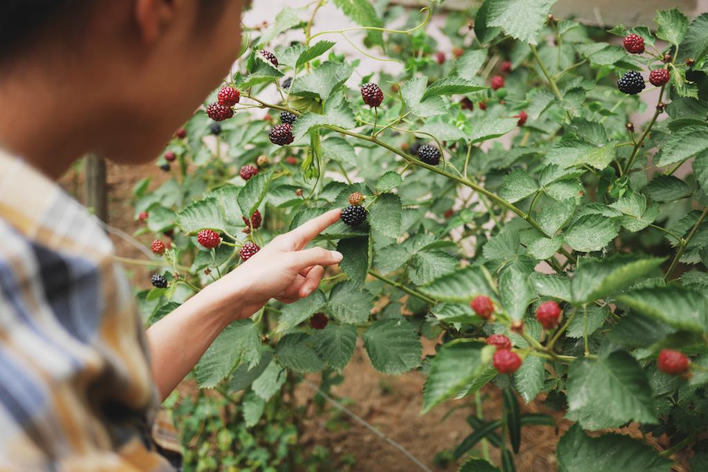 花園裡種的黑莓爬藤生長的很整齊
