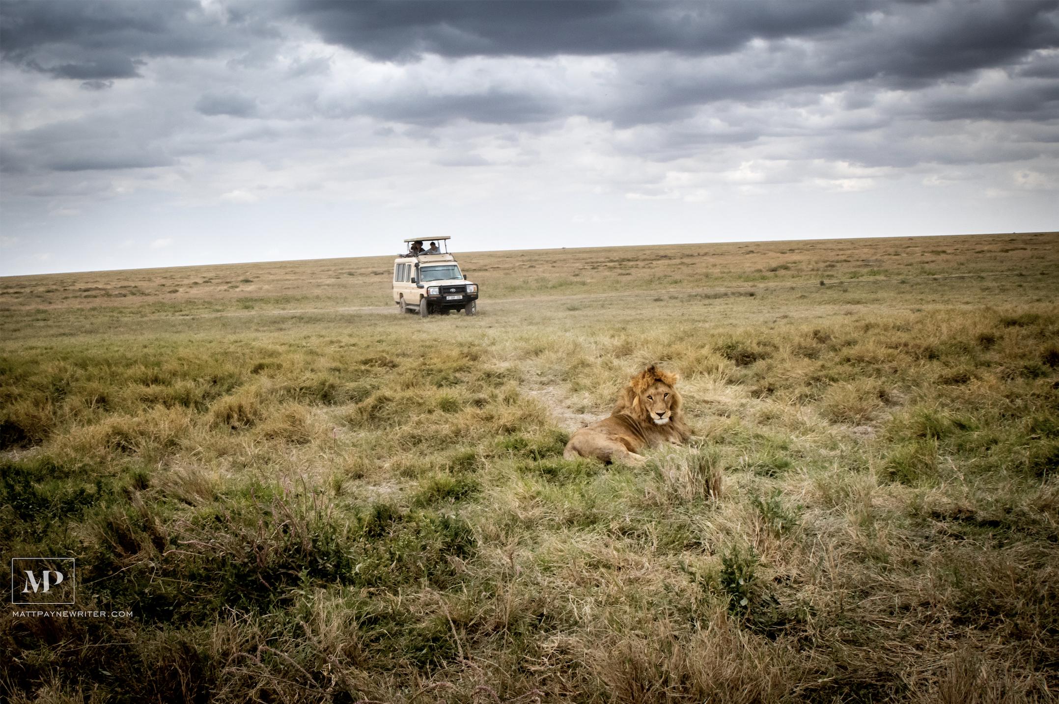 A Lion Waits