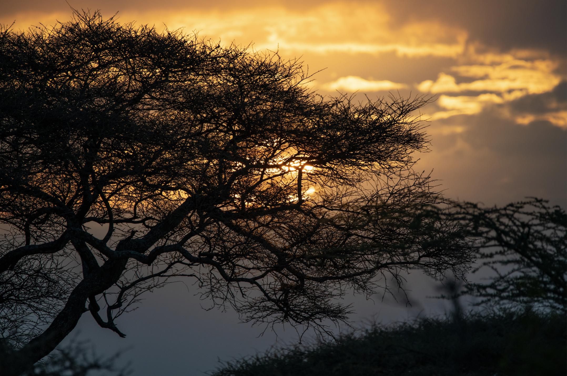 Acacia Sky